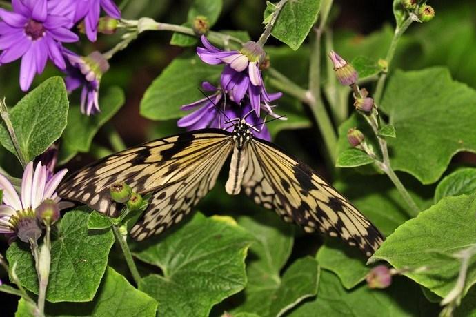 vlinders knokke
